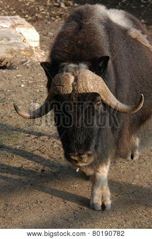 Musk ox (Ovibos moschatus).