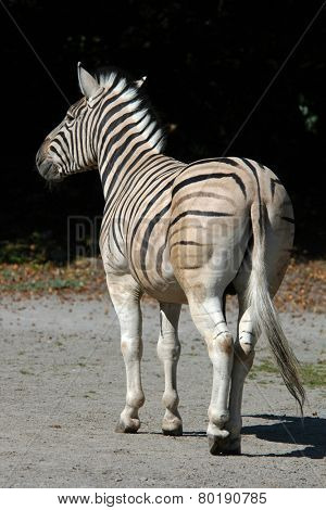 Damara zebra (Equus burchelli antiquorum).