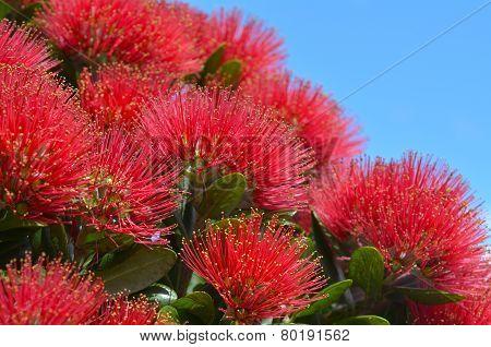 Pohutukawa Red Flowers