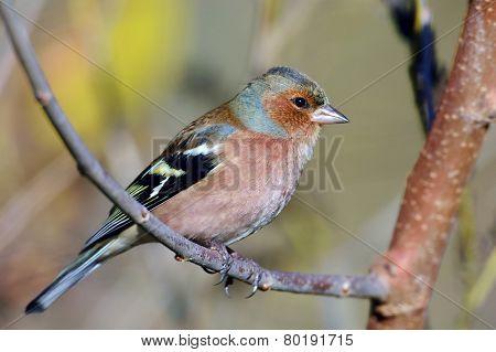 chaffinch perched on branch (fringilla coelebs)