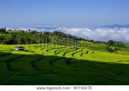 rice field with sunlight