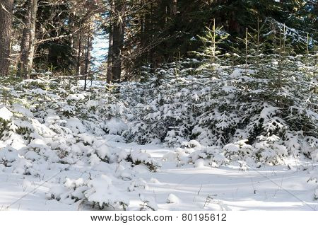 Young Coniferous Trees
