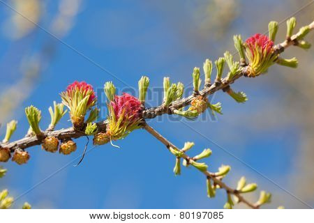 Blossoming Larch