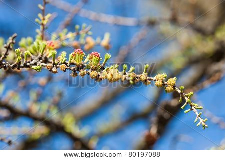 Twig Blossoming Larch