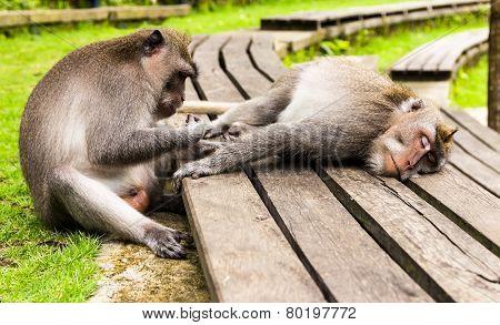 Monkeys Have Reset Forest Of Ubud, Bali Island