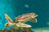 foto of sea-turtles  - Graceful and young sea turtle at the Aquarium - JPG