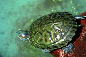 Постер, плакат: Turtle Indonesia