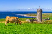 image of sea cow  - Doonagore castle with cow on the farm - JPG