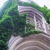image of ivy vine  - Old building covered with green ivy on the wall - JPG