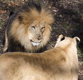 image of african lion  - close up of a confrontation between two African lions - JPG
