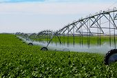 stock photo of turnip greens  - An irrigation pivot watering a field of turnips - JPG