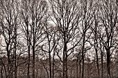 image of row trees  - Row of bare trees ,standing high together in a group. ** Note: Soft Focus at 100%, best at smaller sizes - JPG