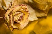 stock photo of love hurts  - Dried rose with leaves  - JPG