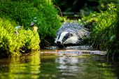 stock photo of jaw drop  - European badger swiming in the forest strem - JPG