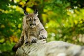 stock photo of cougar  - Cougar on fallen tree trunk in green forest from front view - JPG