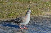 stock photo of pigeon  - Australian pigeon  - JPG