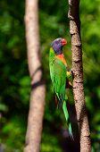 stock photo of lorikeets  - One Native Australian Rainbow Lorikeet sit on a tree - JPG