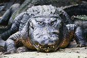 picture of alligators  - Alligator - JPG