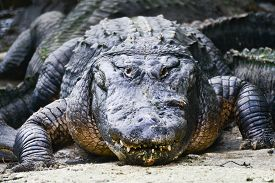 stock photo of alligator  - Alligator - JPG