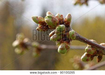 Buds On Apple Tree