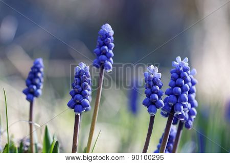Group Of Blue Common Grape Hyacinth