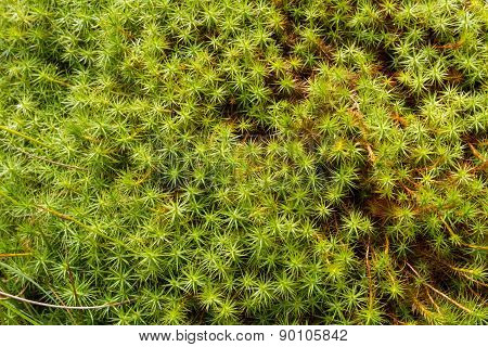Star Moss, Tortula Ruralis, Green Plants Macro