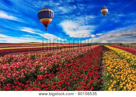 Spring windy day. Two balloons fly over the field.  Field of blooming red, yellow and pink  buttercups - ranunculus