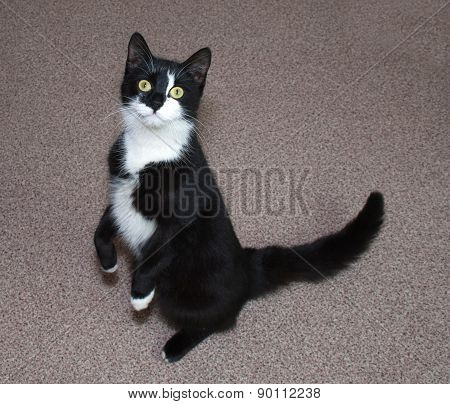 Black And White Cat Stands On Floor On Hind Legs