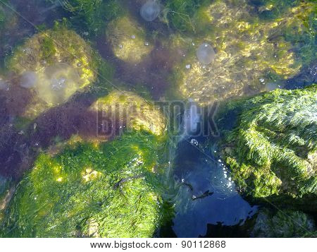 Jellyfishes in seaweed