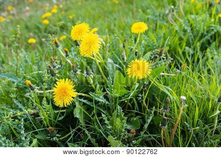 Yellow Flowering Common Dandelion Plants From Close