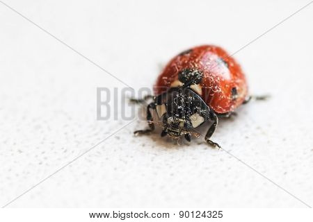 Ladybug After Hibernation
