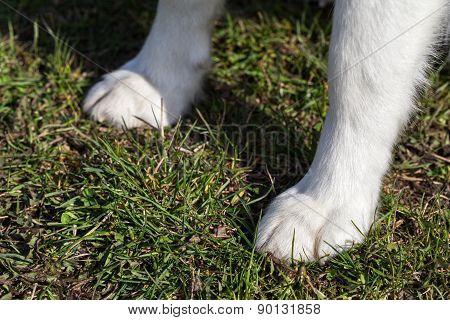 Paws of Siberian Husky closeup.