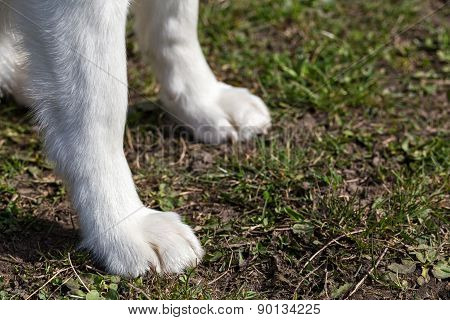 Paws of Siberian Husky closeup.
