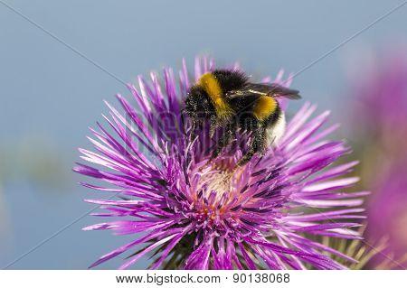 Commun Bee, Polizating A Carpobrotus Edulis, Succulent Plant, Creeping, Native To The Cape Region
