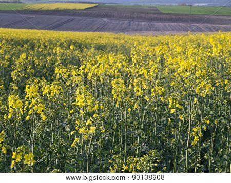 Flourishing Field Of Yellow Rape