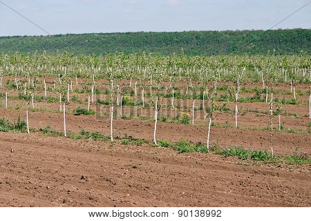 Young Orchard. Row Of Fruit Trees. Fruit Growing