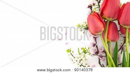 Spring Flowers, Red Tulips And Blossoming Branches, Isolated On White Background With Space For Gree