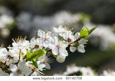 Flowers of cherry plum.