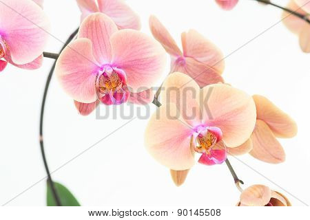 Peach Moth Orchids Close Up