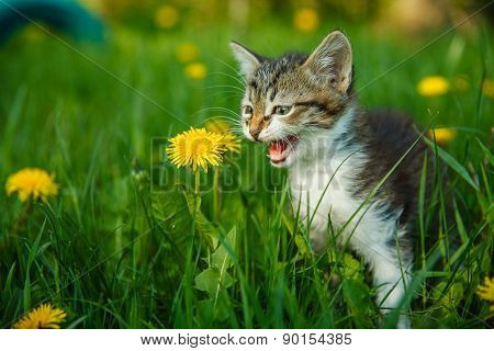 black and white kitten meowing cat cries sitting in green grass