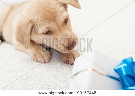 Puppy And Gift