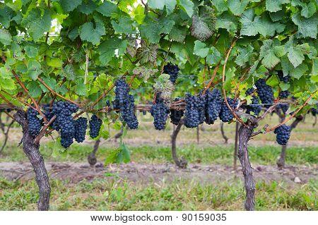 Closeup To Vineyard Grapes