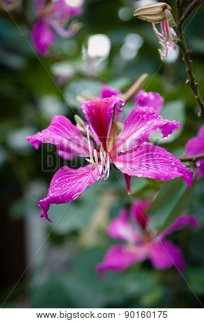 Hibiscus Flower With Droplets