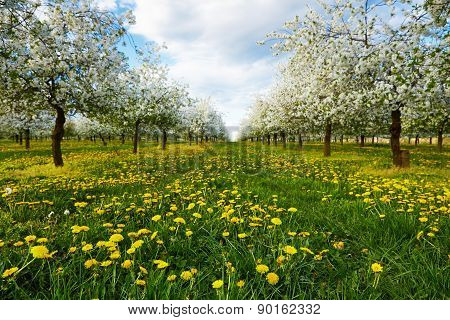 Dandelions In Spring In Cherry Orchard