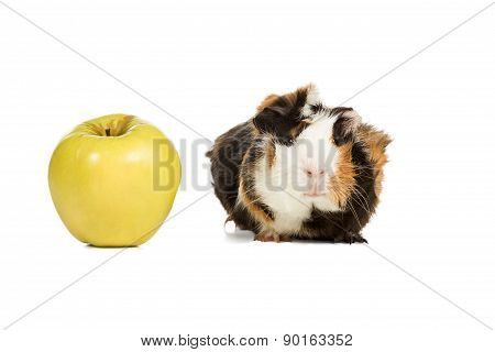 Guinea Pig And An Apple