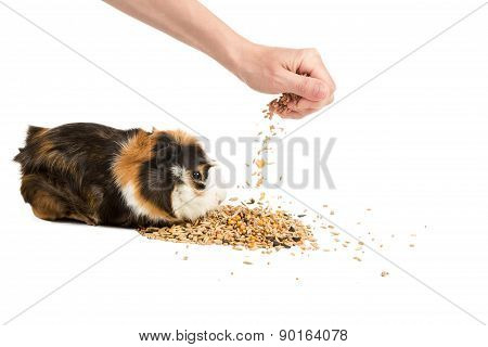 Man Feeding The Guinea Pig