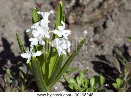 White Flowers Bloom