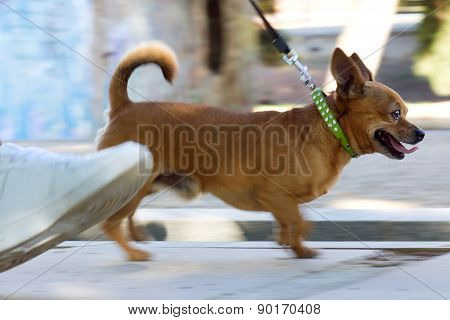 Young Woman And Beautiful Dog Walking In The Street.