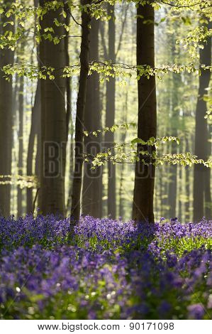 Sunny Spring Forest With Bluebells
