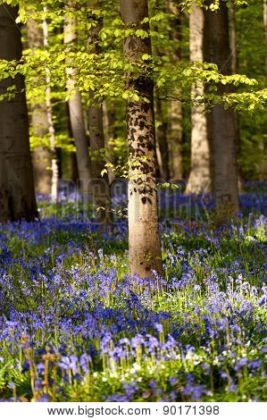 Flowering Bluebells In Spring Forest